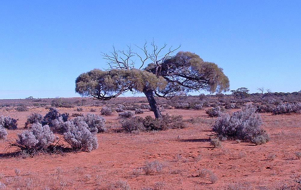 Outback scenery: Mulga trees (Acacia) and Saltbush shrubs...hopefully enough to feed a few head of sheep.