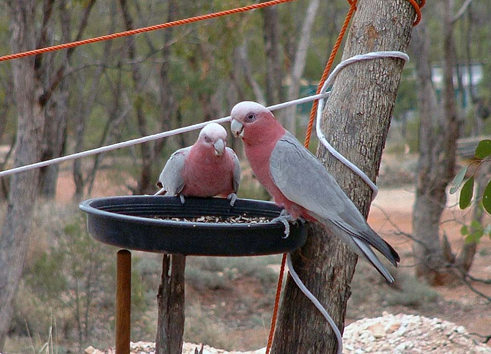 A couple of hungry Galahs on a feeder at Neil and Willies camp in Grawin.