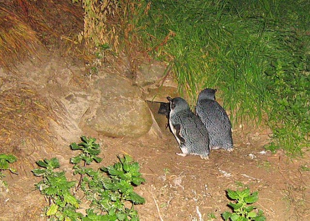 Fairy Penguins just outside their small den on Kangaroo mIsland.