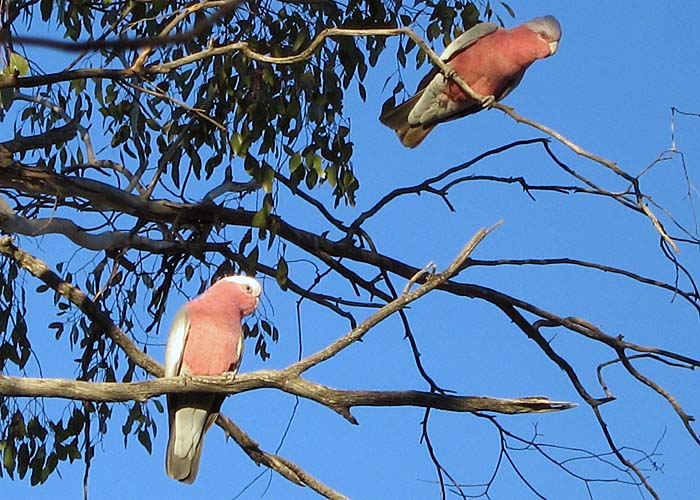 Two Galahs posing in gum tree.  You must be getting tired of seeing pics of Galahs, but they are my favorite Aussie bird.