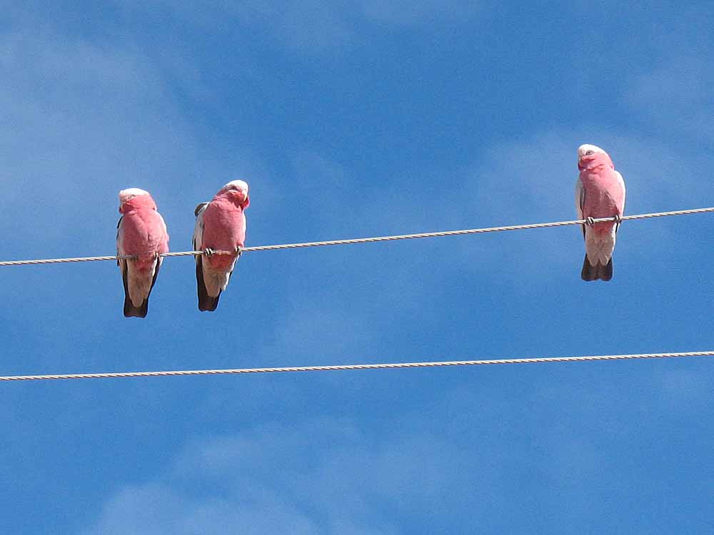My favorite Australain bird: the friendly, gregatrious and raucous Galah.