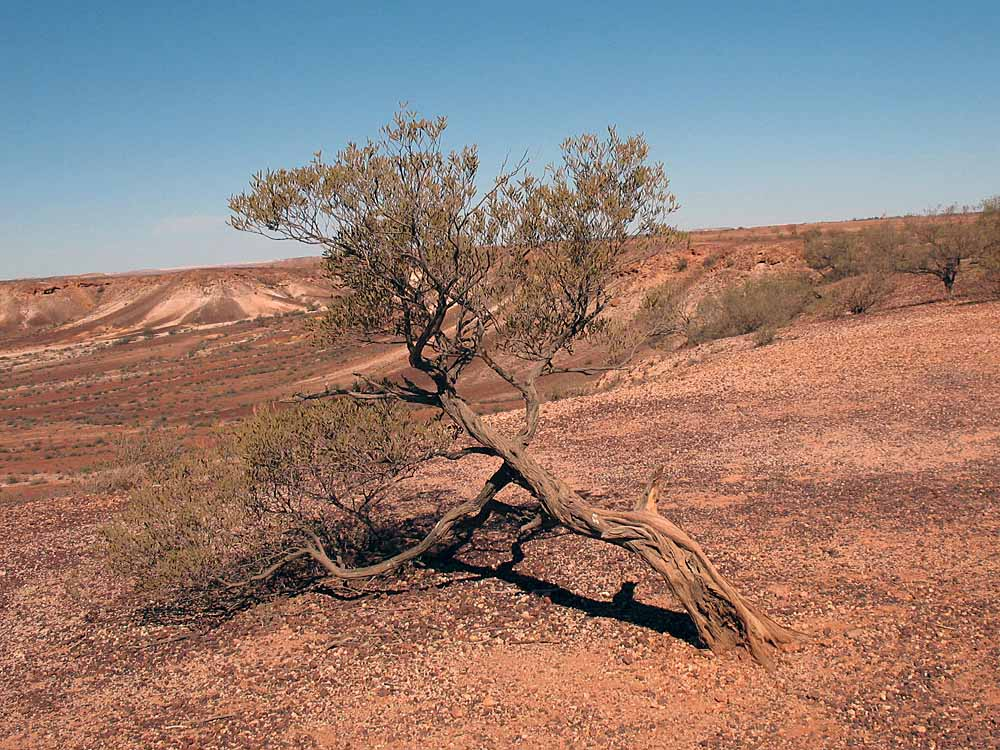Lonely mulga (acacia) tree barely surviving in the harsh Australian outback.