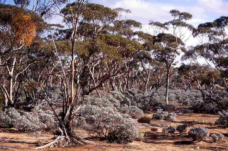 Outback vegetation: Mulga, gum trees and a few saltbush shrubs.