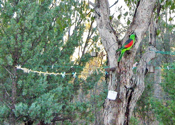 Gorgeous red/green parrot in Grawin.  I believe this is the mate to the solid green parrot in another photo as they were seen together.
